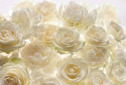 High Quality non-woven wallpaper White rose flowers